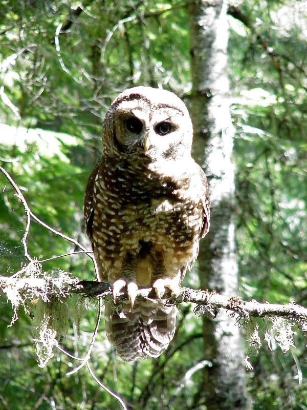 Spotted Owl (US Forest Service)