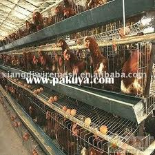 Chicken Cages of the Type Prohibited Under California's Proposition 2