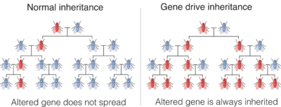 Comparing normal and gene drive inheritance
