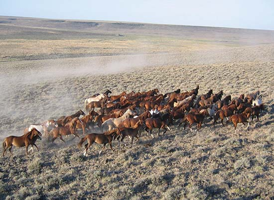 Feral horses at Sheldon National Wildlife Refuge, NV. (Photo by Gail Collins / USFWS)